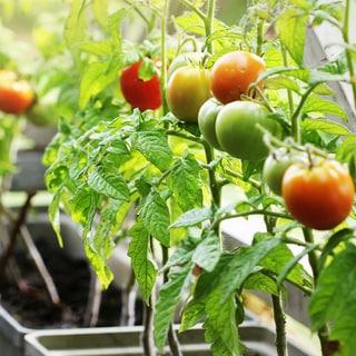 【失敗しないベランダ菜園】6月からでも間に合う野菜といい苗の選び方